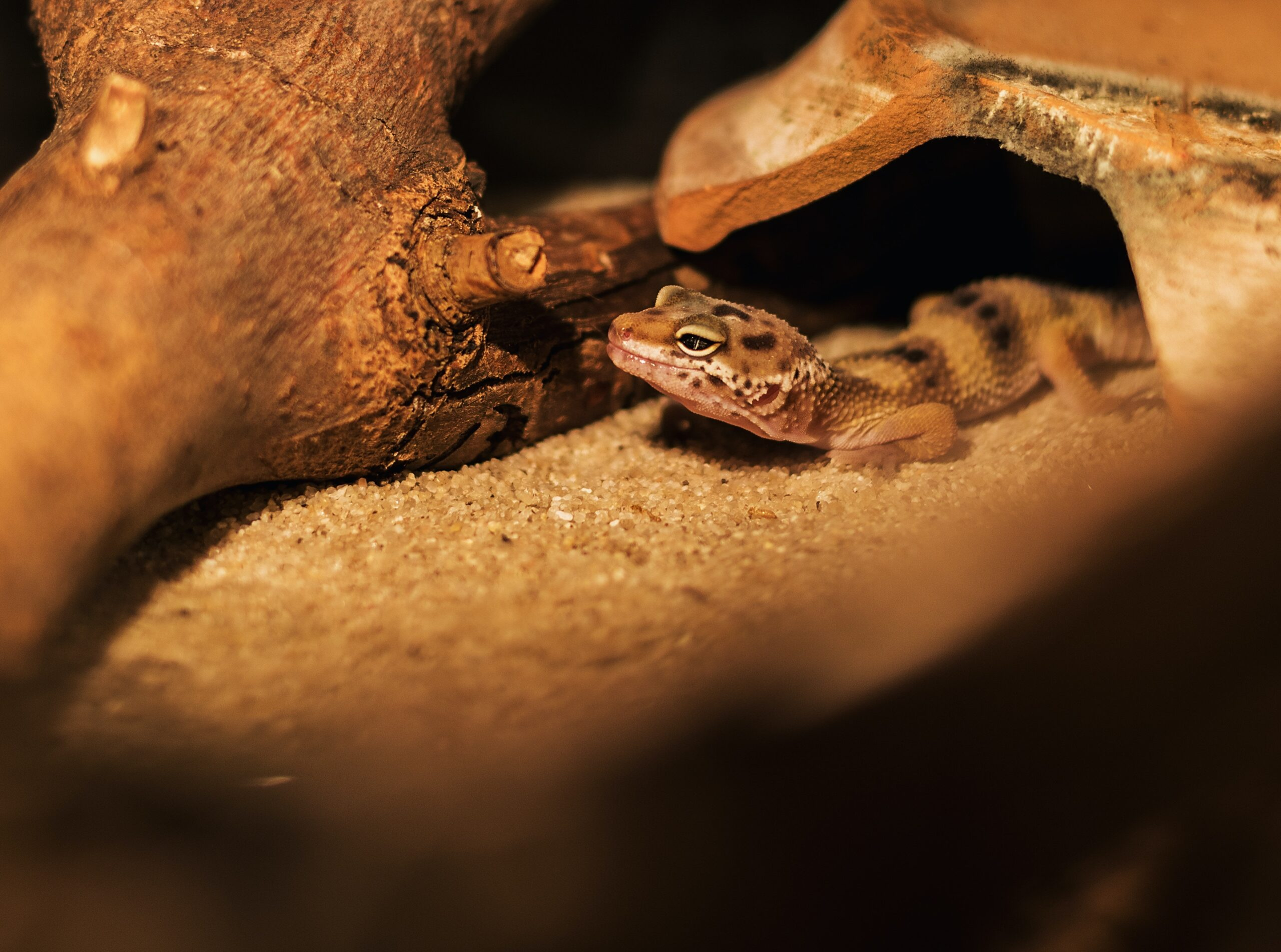 How long do leopard geckos sleep?